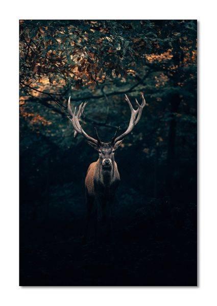 Deer I´m the king (80x120 bilde Plexiglass)